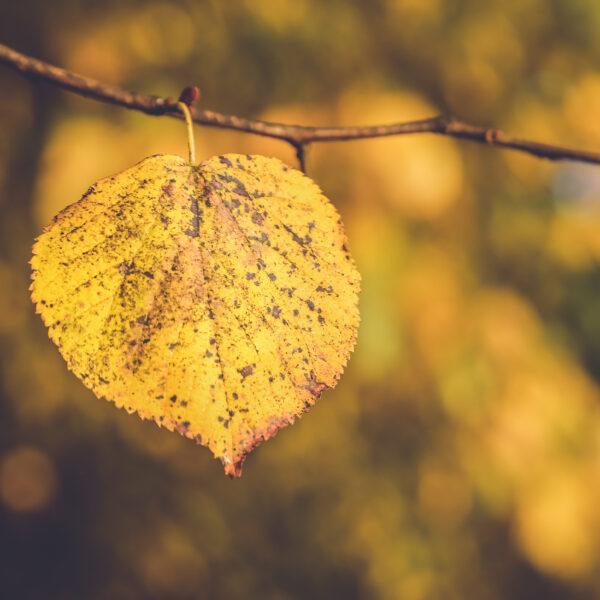 Gult blad i efteråret
